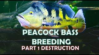Peacock bass breeding Part 1 (destruction)