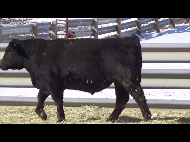 Connealy Angus Lot 182