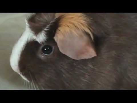 Guinea pig watching G-Force