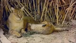 Камышовый кот. Израиль. Дикие животные. Discovery