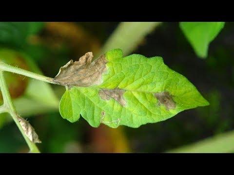 Какие растения болеют фитофторозом