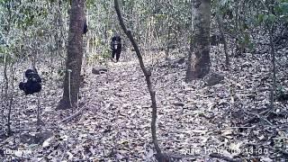 "Video ""Mom's coming"" - chimpanzees in the Issa Valley, Ugalla (UPP/MPI-EVA) download MP3, 3GP, MP4, WEBM, AVI, FLV November 2017"