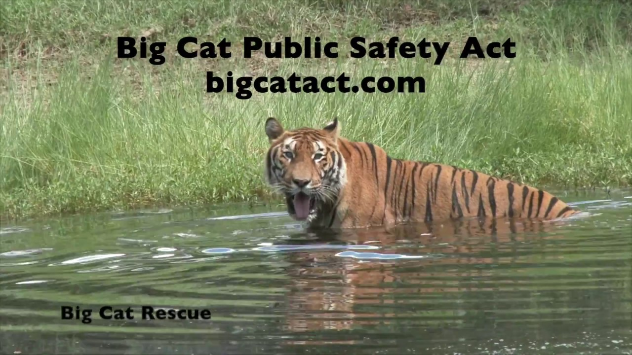 Big cats – Advocacy for Animals
