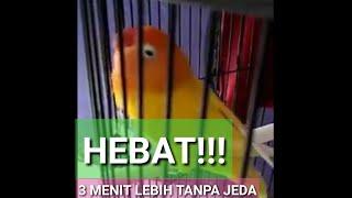 NGEKEK 3 MENIT TANPA JEDA- LOVEBIRD TRAH JUARA