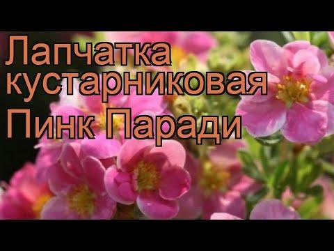 Лапчатка кустарниковая Пинк Паради (pink paradis) 🌿 обзор: как сажать, саженцы лапчатки Пинк Паради