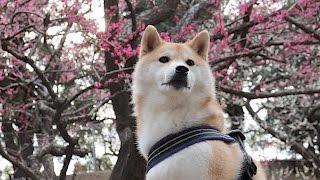 柴犬だいふくの花より昼寝 [ Shibainu Daifuku wiz Plum ]