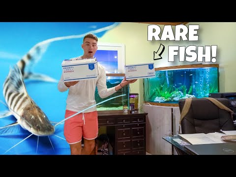 Unboxing One Of The RAREST ZEBRA Catfish!