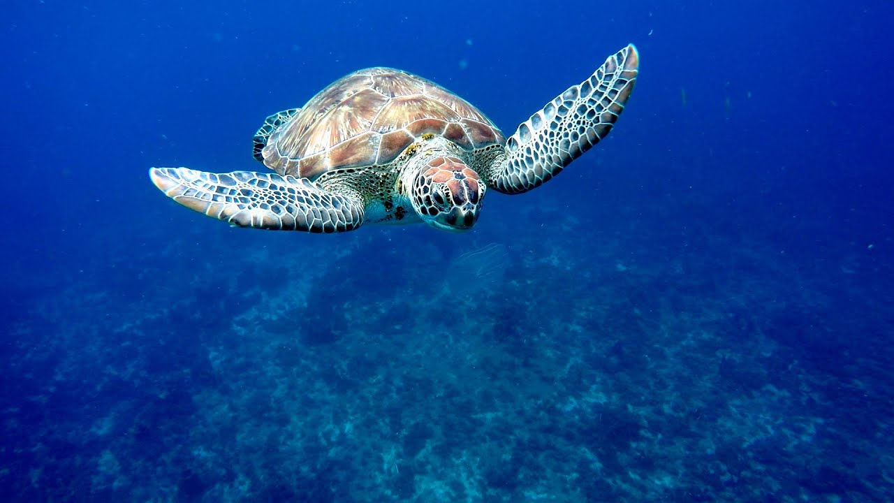 Turtle Bay Martinique Experience Swimming With Turtles In The Caribbean Sea