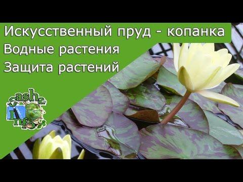 Нимфеи: посадка и уход в аквариуме