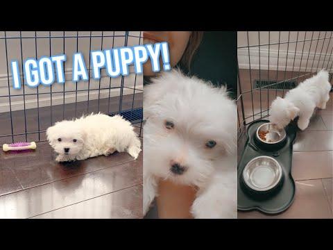 PICKING UP MY MALTESE PUPPY! i got a puppy :)
