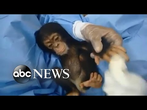 "Woman is ""Mother"" to 50 Orphaned Chimps 