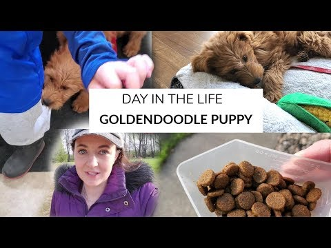 DAILY PUPPY ROUTINE | 12 week Goldendoodle Puppy
