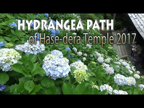 KANAGAWA. | 鎌倉 |  HYDRANGEA PATH of Hase-dera Temple 2017 at KAMAKURA