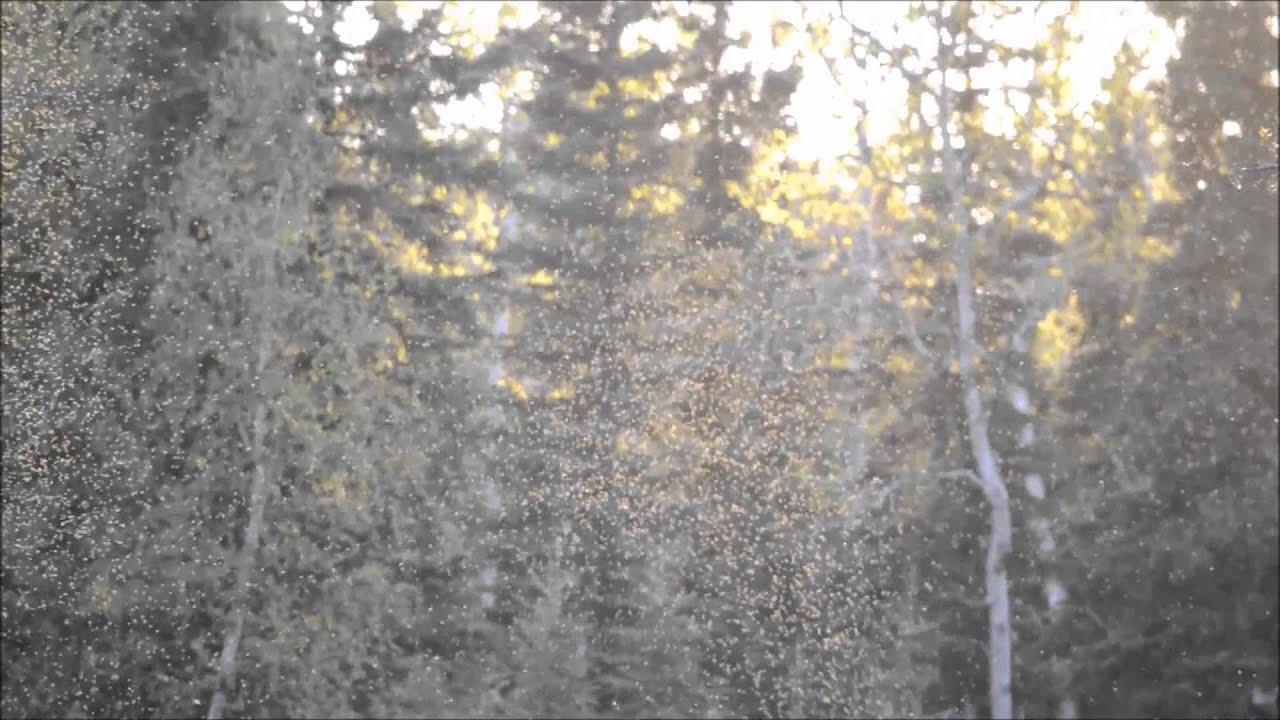 Mosquitoes In Alaska Youtube