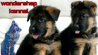 Problems And Arrangements In Delivery Of Puppies | Wondershep Kennel | German Shepherd  | Scoobers