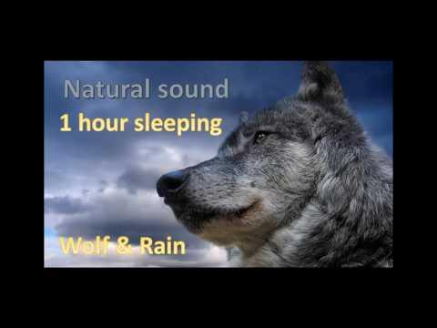 1 hour sleeping | Wolf howling in the rain