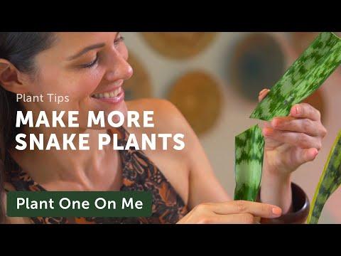 Propagate SNAKE PLANTS, Five Ways — Ep 201