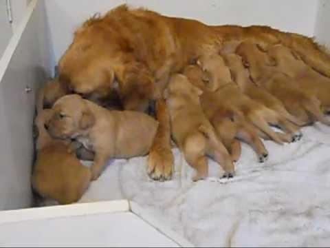Golden Retriever Puppies 2 weeks old.wmv