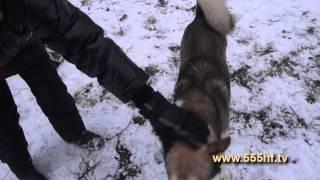 Охота на кабана в Смоленской области видео