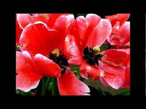 Tulips, flowers, Tulip Festival: Boyd Raeburn