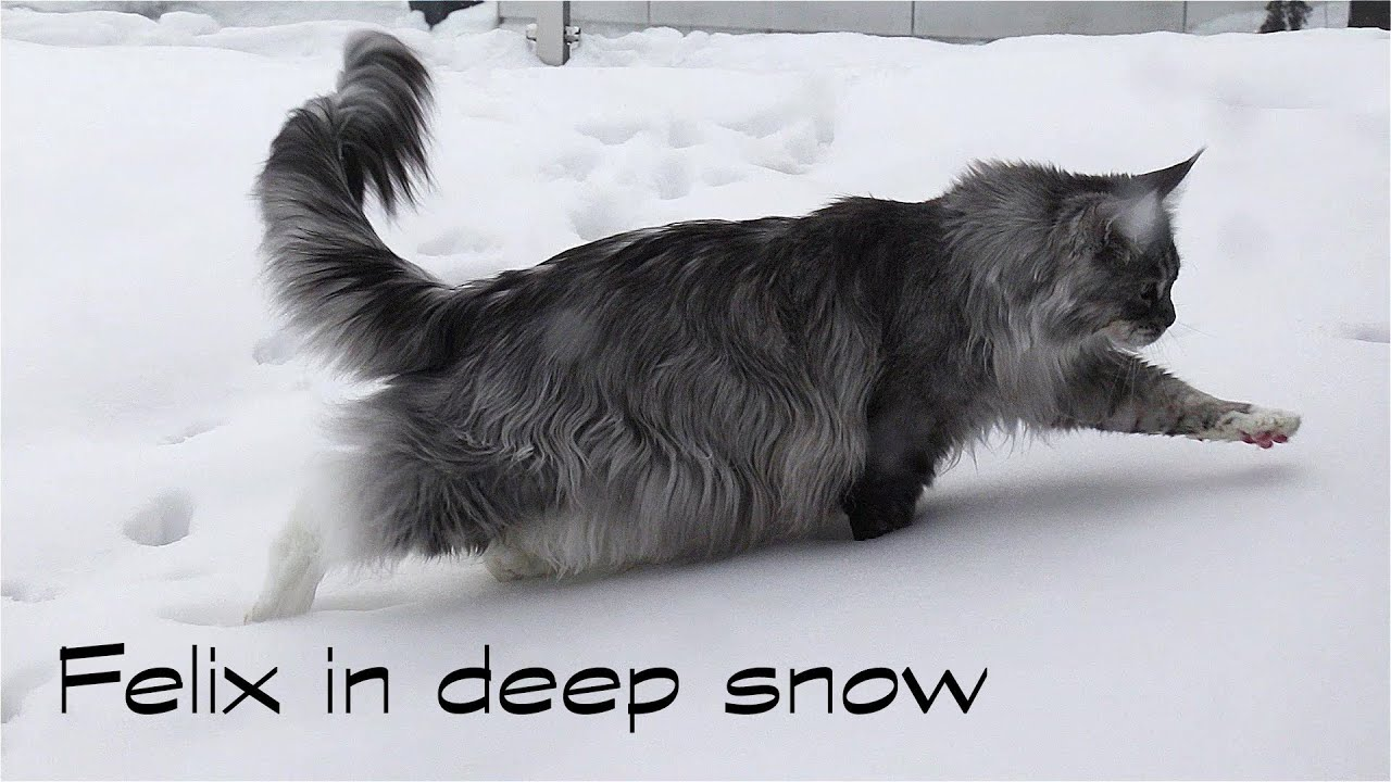 Maine Coon Felix in deep snow