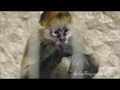 ジェフロイクモザルのコロン「おいしい?」@上野動物園 / Colon the Geofrroy's spider monkey
