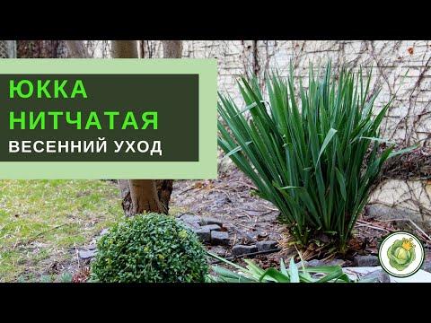 ЮККА НИТЧАТАЯ//Весенний уход