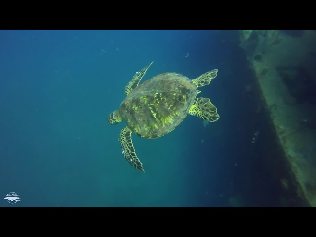 Turtle while diving a ship wreck in Loreto BCS MEX