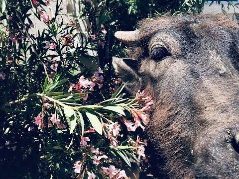 Pit Bull Gives Buffalo kisses