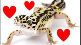 Leopard Gecko Breeding Behavior