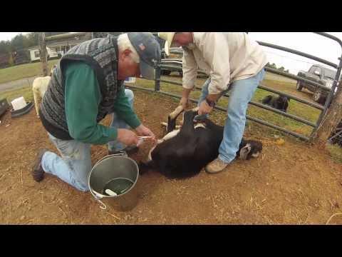 Gathering Nuts-Goat Castration