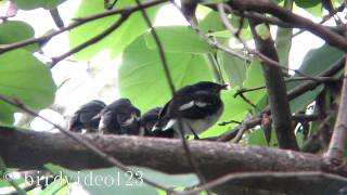 Oriental Magpie Robin Babies/Juveniles Waiting for Feeding (in Hong Kong)