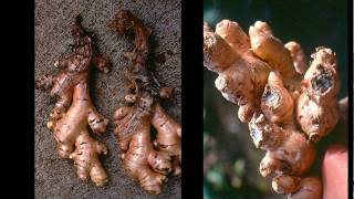 1 -  The Ginger Project: Overview of Bacterial Wilt