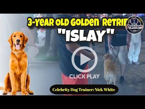 golden-retriever-dog-training- -celebrity-dog-trainer-nick-white