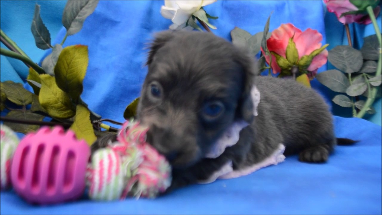 Blue Miniature Dachshund Puppies For Sale 719 306 8118 Youtube