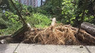 在超強颱風山竹襲港一星期後,在香港行山發現很多倒在地下的樹沒有清理,也有很多樹有危險會倒下來,所以建議大家短期內不要去遠足。