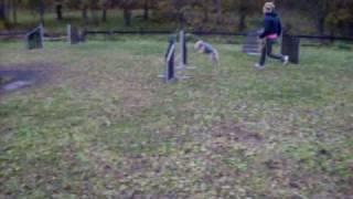 Lakeland Terrier agility Frognerparken