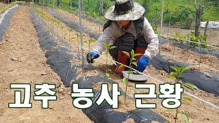 고추 농사 근황. 고추 모종심기, 고추 끈 묶기, 고추…