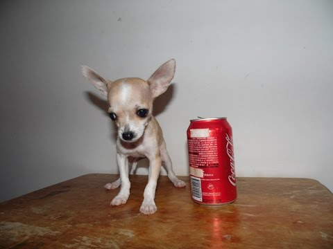 Teacup Chihuahua Babies In Mexico Youtube