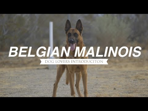 DOG LOVERS INTRODUCTION: BELGIAN MALINOIS