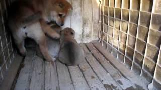 山陰柴犬の子犬と赤ちゃん.