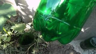 Выращиваем огурцы: капельный полив под корень(Как с помощью пластиковых бутылок организовать капельный полив огурцов? Очень просто. Смотрите видео. ..., 2015-06-16T04:21:41.000Z)