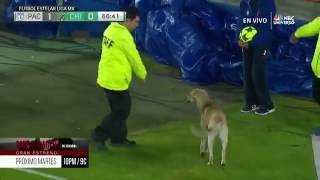 Кошка и собака на футбольном поле!