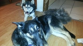 Do You Really Want A Siberian Husky Or German Shepherd Dog???
