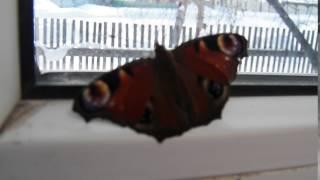 видео К чему снятся бабочки, летающие или в коллекции: толкование сна про