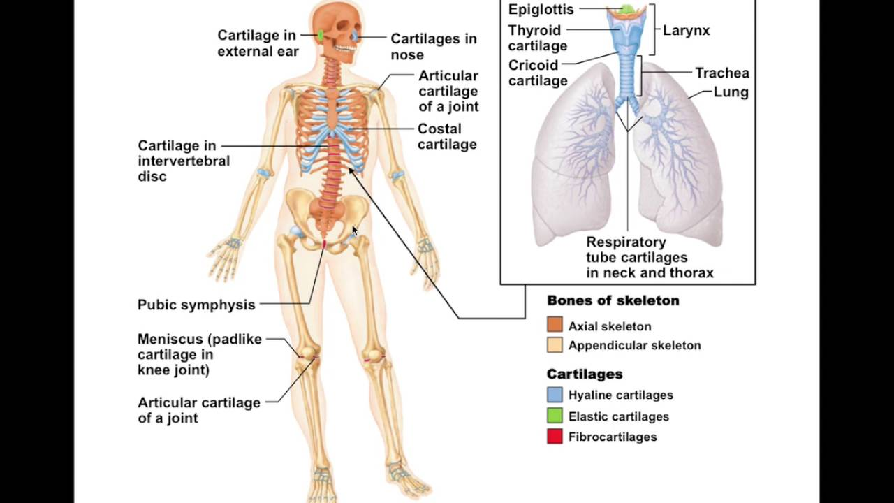 Chapter 6 1 Skeletal Cartilage Bio201