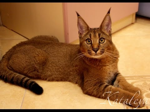 Кошка за 1.5 миллиона рублей!