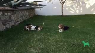 Últimos Cachorros Altajara Beagle. Last Altajara Beagles Puppies For Sale!