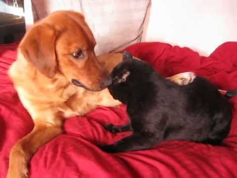 This is what happens when a dog is raised by Cats