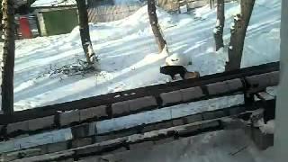 Склеевшиесе попы собак